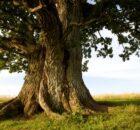 Meşe Ağacının Faydaları